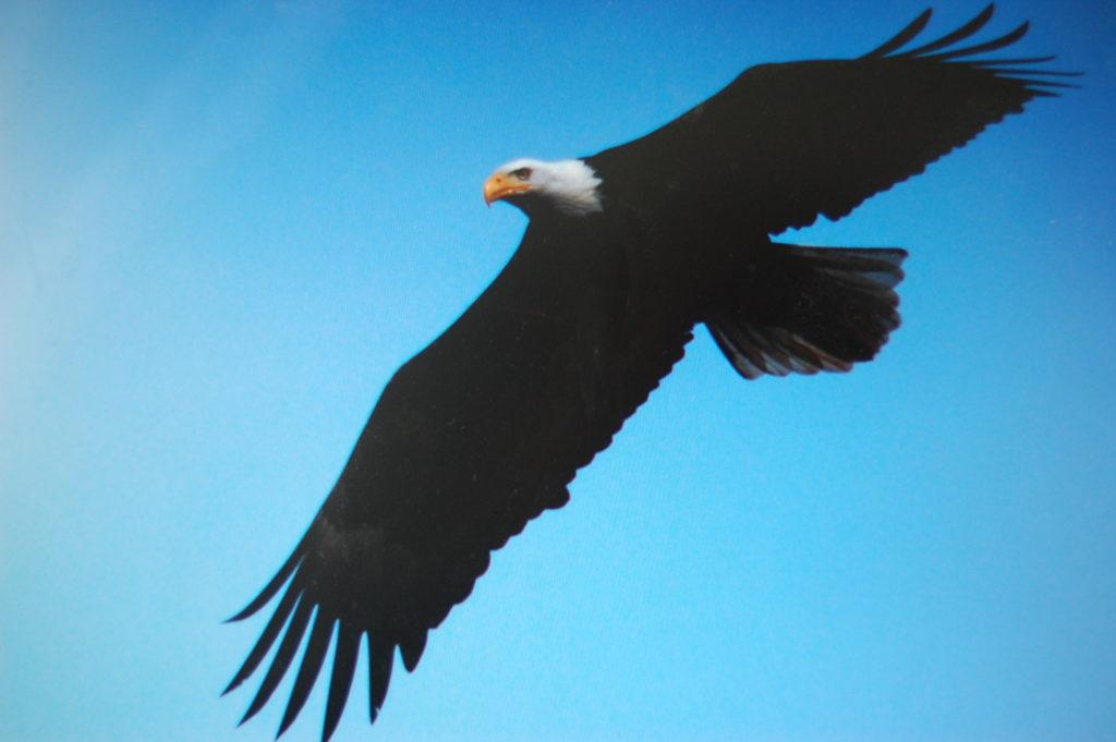 Baldhead Eagle Saanich Inlet