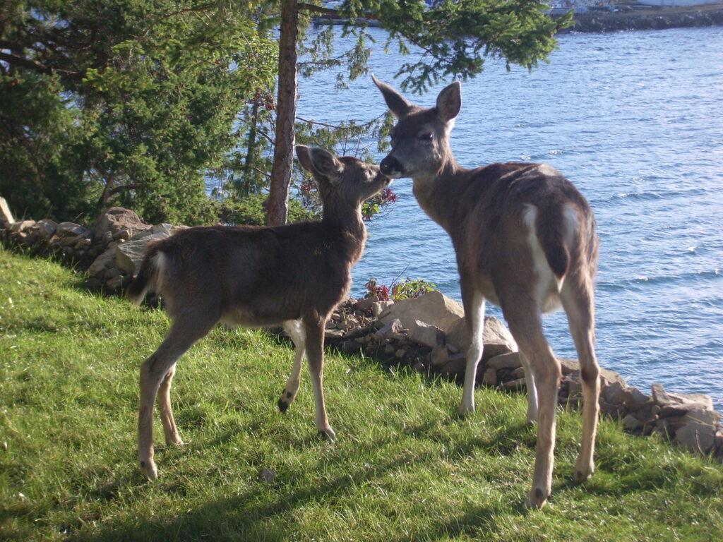 Deer On No Pender Island~PeterNash.ca