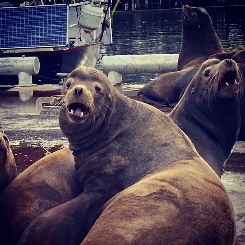 Sea Lions~Cowichan Bay BC~ stay back!