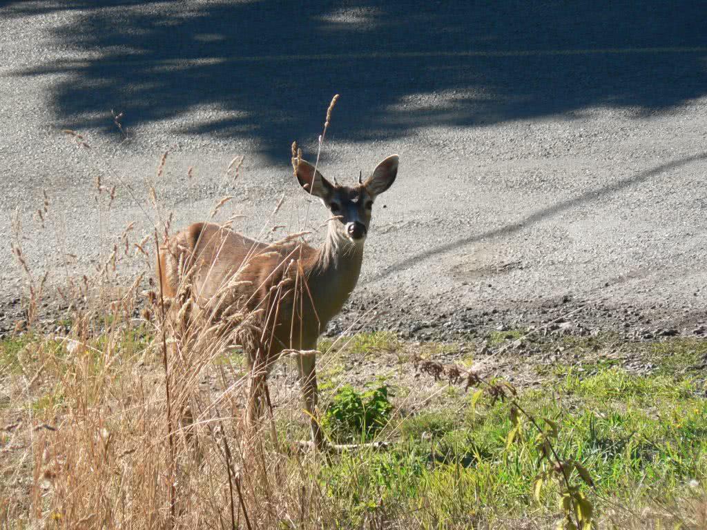 Oh Deer ~ Mayne Island