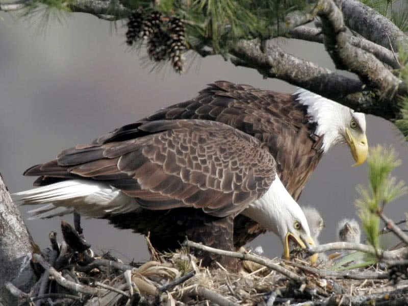 Eagles @ Their Gulf Island Nest