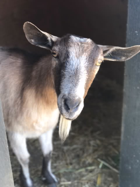 Billy Goat at Siver Rill Farm Central Saanich