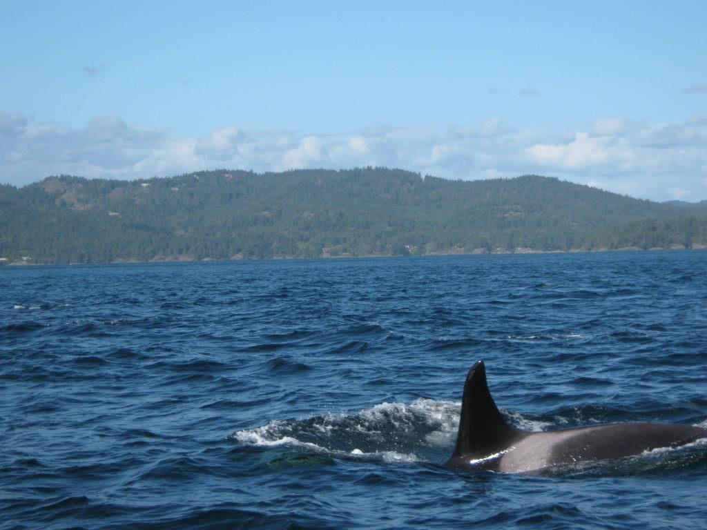 KIller Whale @ Sooke, B.C.
