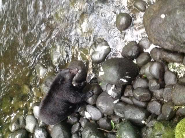 Bear Fishing @ Ucluelet, Vancouver Island 2017