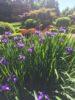 Iris Flowers @ 9750 West Saanich Rd