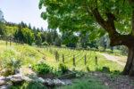 View Over Vineyard. PeterNash.ca